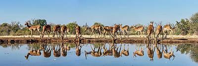 Impalas Aepyceros Melampus Art Print by Panoramic Images