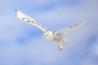 In Flight - Snowy Owl Art Print by Keith R Crowley