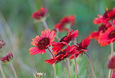 Photograph - Indian Blanket Flower by John Black
