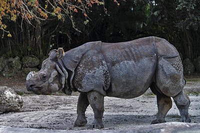 Indian Rhinoceros Art Print