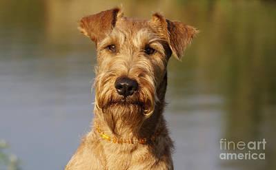 Irish Terrier Dog Art Print by Brinkmann/Okapia