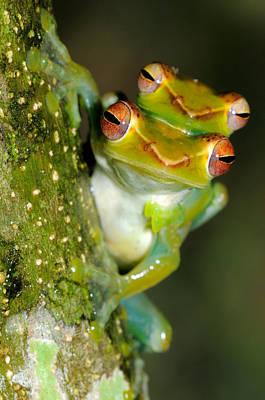 Rhacophorus Photograph - Jade Tree Frogs Mating by Fletcher & Baylis