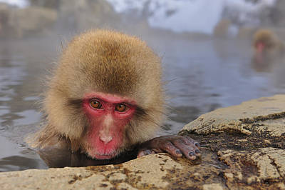 Japanese Macaque In Hot Spring Art Print by Thomas Marent