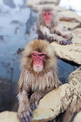 Japanese Macaque (macaca Fuscata Art Print