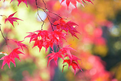 Japanese Maple In Autumn Color Art Print by Peter Adams