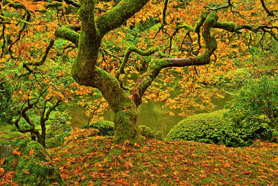 Japanese Maple Leaves Photograph - Japanese Maple In Autumn, Portland by Michel Hersen