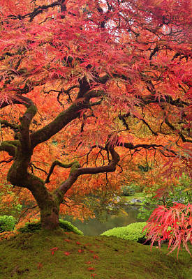 Sutton Photograph - Japanese Maple In Fall Color, Portland by William Sutton