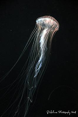 Photograph - Jellyfish by Jerome Holmes