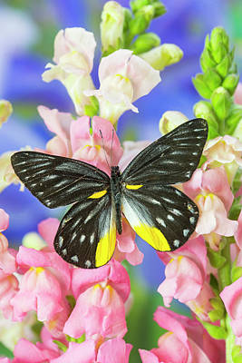 Snapdragons Photograph - Jezebels Butterfly, Delias Species by Darrell Gulin
