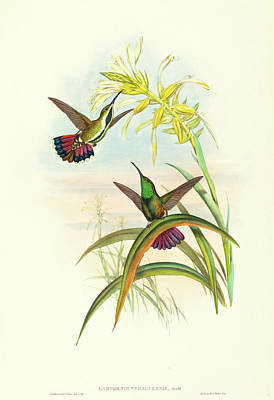 Mango Drawing - John Gould And H.c by Litz Collection