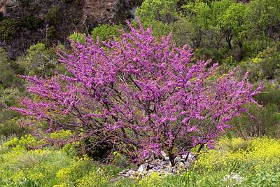 Cercis Photograph - Judas Tree (cercis Siliquastrum) by Bob Gibbons