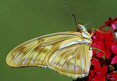 Photograph - Julia Butterfly by Millard H Sharp