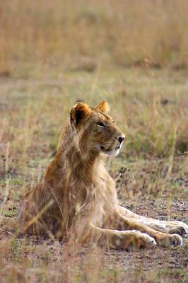 Lion In Waiting Photograph - Juvenile Lion by Amanda Stadther