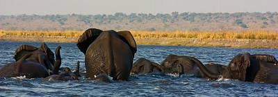 Art Print featuring the photograph Kalahari Elephants Crossing Chobe River by Amanda Stadther