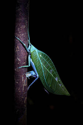 Katydid Photograph - Katydid Laying Eggs by Melvyn Yeo