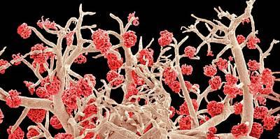 Kidney Blood Vessels Art Print by Susumu Nishinaga