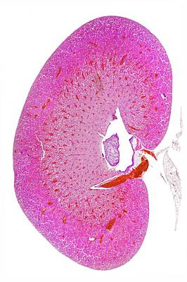 Weasel Photograph - Kidney by Dr Keith Wheeler