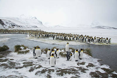 Birds In Snow Wall Art - Photograph - King Penguins Early Spring South Georgia by Darrell Gulin