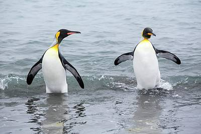 King Penguins Emerge From A Fishing Trip Art Print by Ashley Cooper
