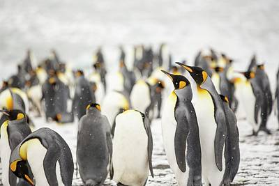 King Penguins On The Beach Art Print by Ashley Cooper
