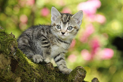 Gray Tabby Photograph - Kitten In Tree by John Daniels