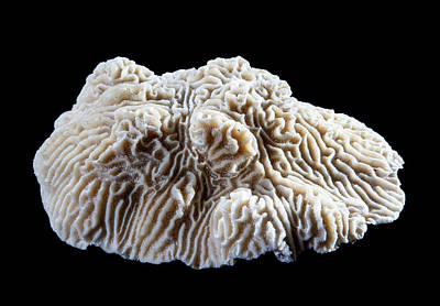Knobby Photograph - Knobby Brain Coral by Natural History Museum, London