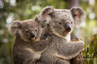 Photograph - Koala And Joey by Craig Dingle