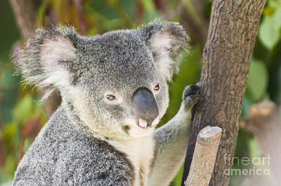 Marsupial Photograph - Koala Bear by William H. Mullins