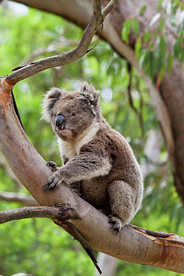 Koala Wall Art - Photograph - Koala (phascolarctos Cinereus by Martin Zwick