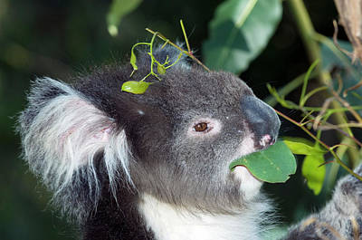 Koala Wall Art - Photograph - Koala by Tony Camacho/science Photo Library