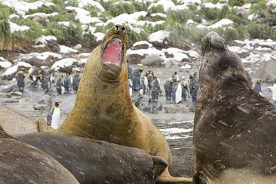 Elephant Seals Photograph - Large Bull Southern Elephant Seal by Ashley Cooper