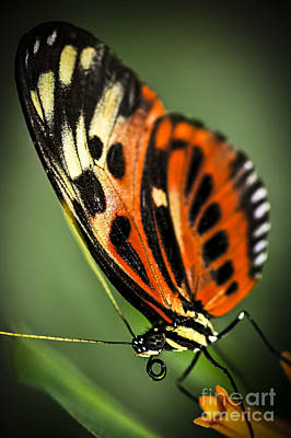 Large Tiger Butterfly Art Print