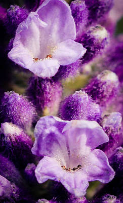 Lavender Art Print by Cathy Donohoue