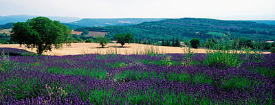 Provence Photograph - Lavender Field, Provence-alpes-cote by Panoramic Images