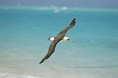 Laysan Albatross Flying Midway Atoll Art Print by Tui De Roy