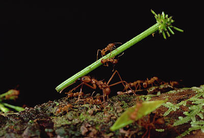 Atta Photograph - Leafcutter Ants Carrying Leaves French by Mark Moffett