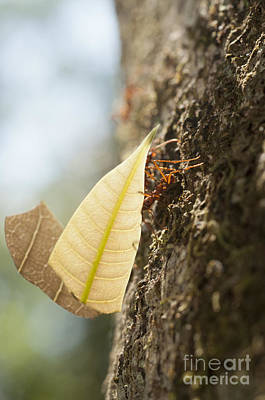 Atta Photograph - Leafcutter Ants by William H. Mullins