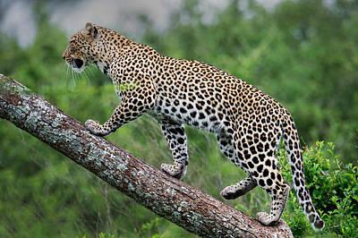 Leopard Panthera Pardus Climbing Print by Panoramic Images