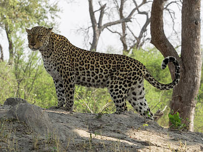 Leopard Panthera Pardus On Termite Print by Panoramic Images