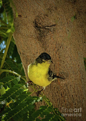 Photograph - Lesser Goldfinch by Robert Bales