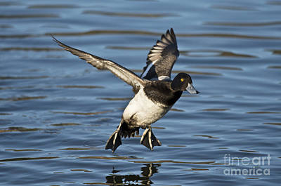 Lesser Scaup Photograph - Lesser Scaup Drake by Anthony Mercieca