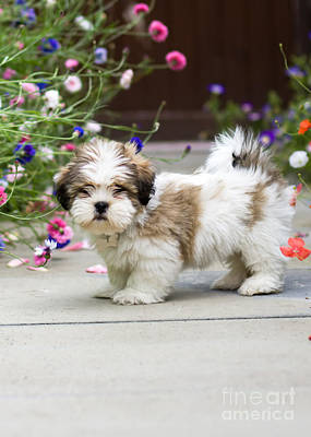 Cute Puppy Photograph - Lhasa Apso Puppy by Ruth Black