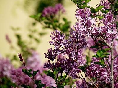 Photograph - Lilacs by France Laliberte