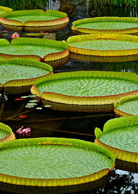 Lilies Royalty-Free and Rights-Managed Images - Lilly Pads by Frozen in Time Fine Art Photography