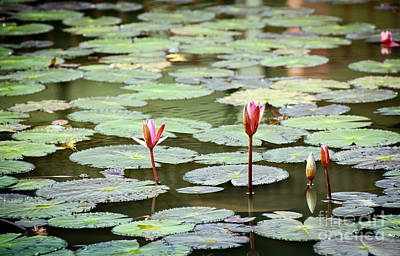 Lilies Royalty-Free and Rights-Managed Images - Lily Pads by Tim Hester