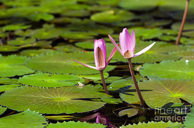 Lilies Royalty-Free and Rights-Managed Images - Lily Pond by Tim Hester