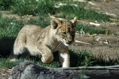 Photograph - Lion Cub Panthera Leo by Mark Newman