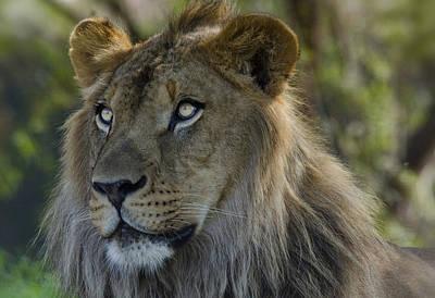 Photograph - Lion King  by Saija  Lehtonen