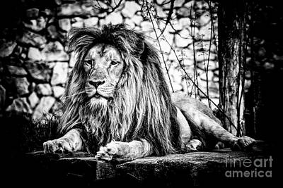 Photograph - Lion by Traven Milovich