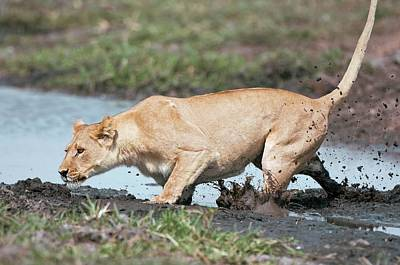 Water Buffalo Wall Art - Photograph - Lioness Hunting by Dr P. Marazzi/science Photo Library